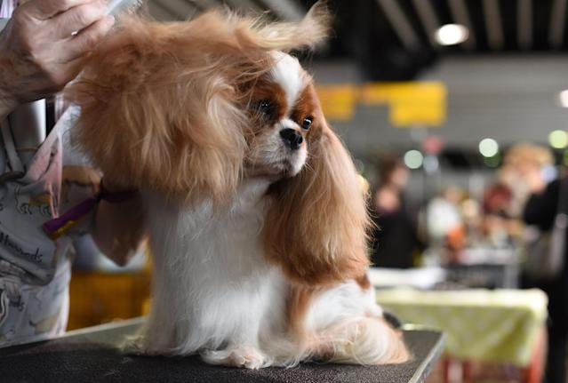<p>A cavalier King Charles spaniel is groomed in the benching area on Day One of competition at the Westminster Kennel Club 142nd Annual Dog Show in New York on Feb. 12, 2018. (Photo: Timothy A. Clary/AFP/Getty Images) </p>
