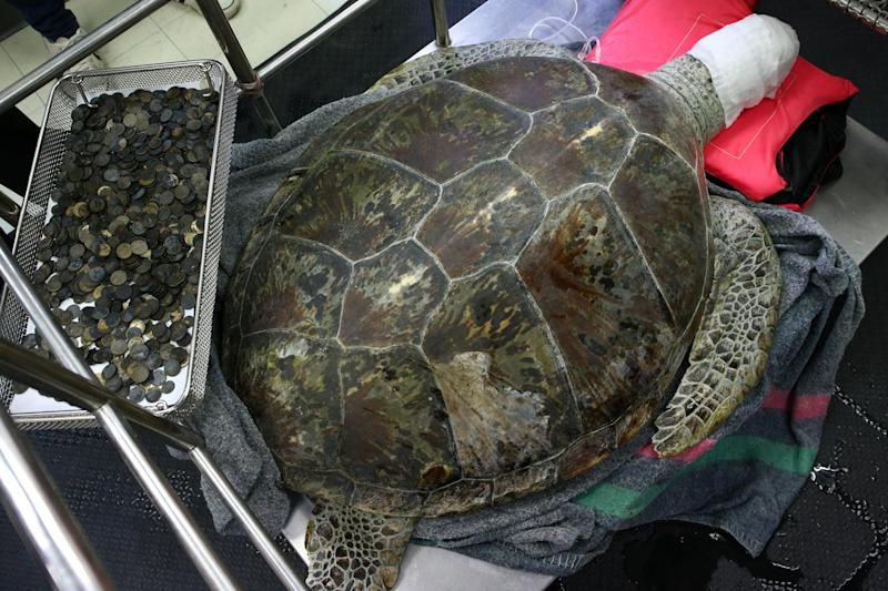 The sea turtle swallowed nearly 1,000 coins