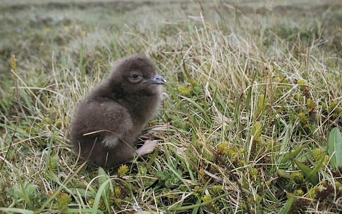 Wildlife Conservation Society - Undated handout photo issued by the World Wildlife Fund UK (WWF) of a Arctic Skua chick, on Orkney. Global wildlife populations have declined by more than two thirds in less than 50 years, a new report has warned. PA Photo. Issue date: Thursday September 10, 2020. Conservation charity WWF said nature was in
