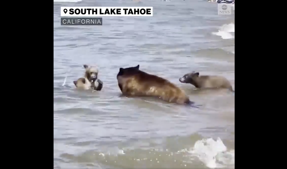 A mother black bear and her three cubs were seen swimming on a packed beach in California (ABC News)