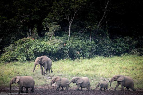 PHOTO: Forest elephants at Langoue Bai in the Ivindo national park, near Makokou, Gabon, April 26, 2019. (Amaury Hauchard/AFP via Getty Images, FILE)