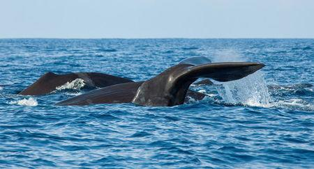 The fluke of a sperm whale sticks out of the sea as it dives among other resting whales off the coast of Mirissa, in southern Sri Lanka, March 29, 2013. REUTERS/David Loh/File Photo