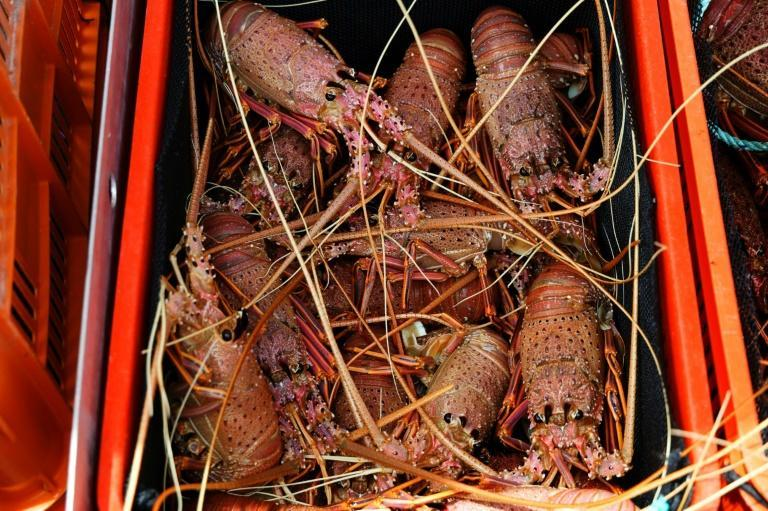 Australia's rock lobster exports are worth half a billion US dollars a year -- and in normal times, 94 percent of them go to China