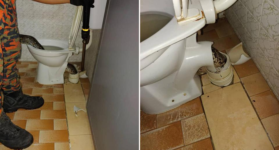 A python pictured in a toilet in Malaysia.
