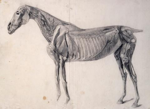 Finished study for 'The Fourth Anatomical Table of the Muscles of the Horse', 1756- 1758, Pencil and black chalk - Credit: © Royal Academy of Arts, London