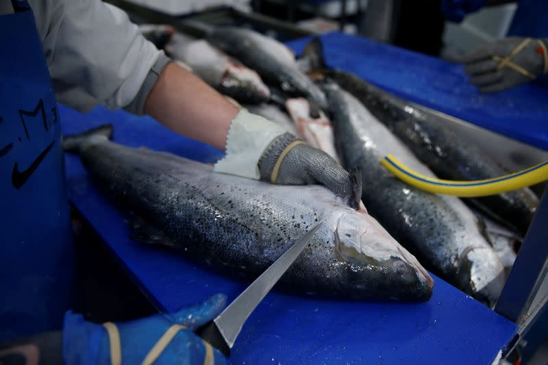 FILE PHOTO: A French worker fillets salmon in a fish processing plant in the port of Boulogne-sur-Mer
