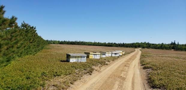 Blue Acres Development owner Brett Reidpath says blueberry crops were devastated by dry weather and frost.   (Submitted by Brett Reidpath  - image credit)