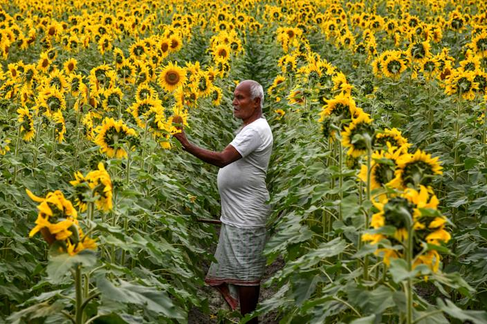 A farmer checks his sunflower field, used for the production of sunflower oil, at Singimari village on the outskirts of Guwahati in India's northeastern state of Assam on February 22, 2020.