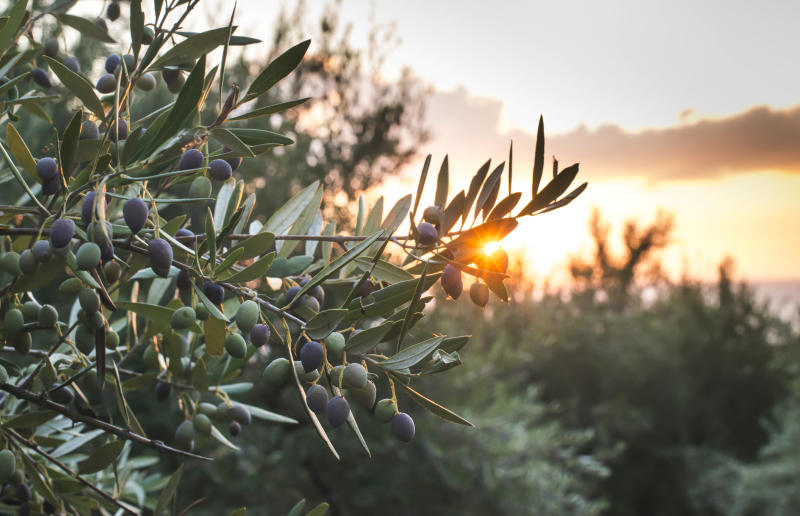 European Olive Tree Disease Could Cost Over 20bn