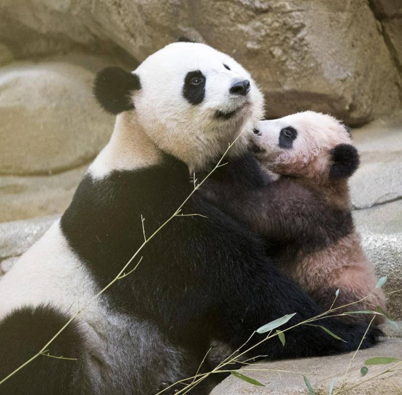 France's first baby panda made his debut at the zoo, and all he wants to do is play