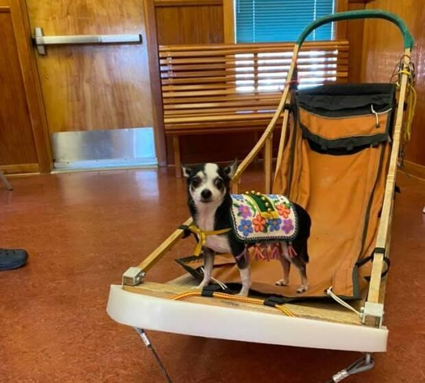Rikki, a seven-year-old Chihuahua, compared to one of the sleds used in the annual Yukon Quest dog sled race.