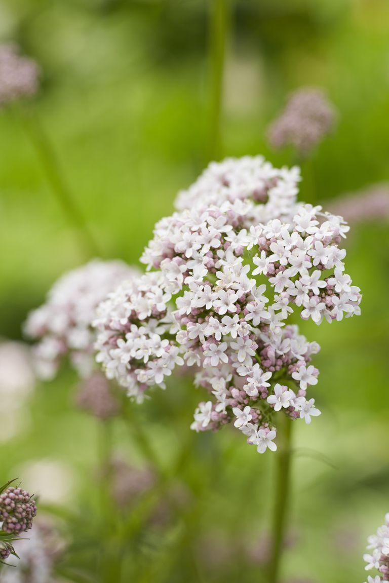 <p>Though some of us know this herb for its calming properties, this bloom has a more active meaning: readiness. If you've got valerian in your wildflower bouquet, you're prepared for anything. </p>