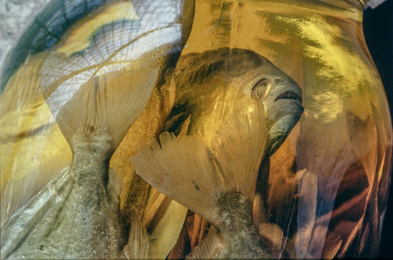<p>Piranha caught in Brazil by William James for Louis Agassiz at the Museum of Comparative Zoology, Harvard University. (Photograph by Rosamond Purcell/Courtesy of BOND/360) </p>