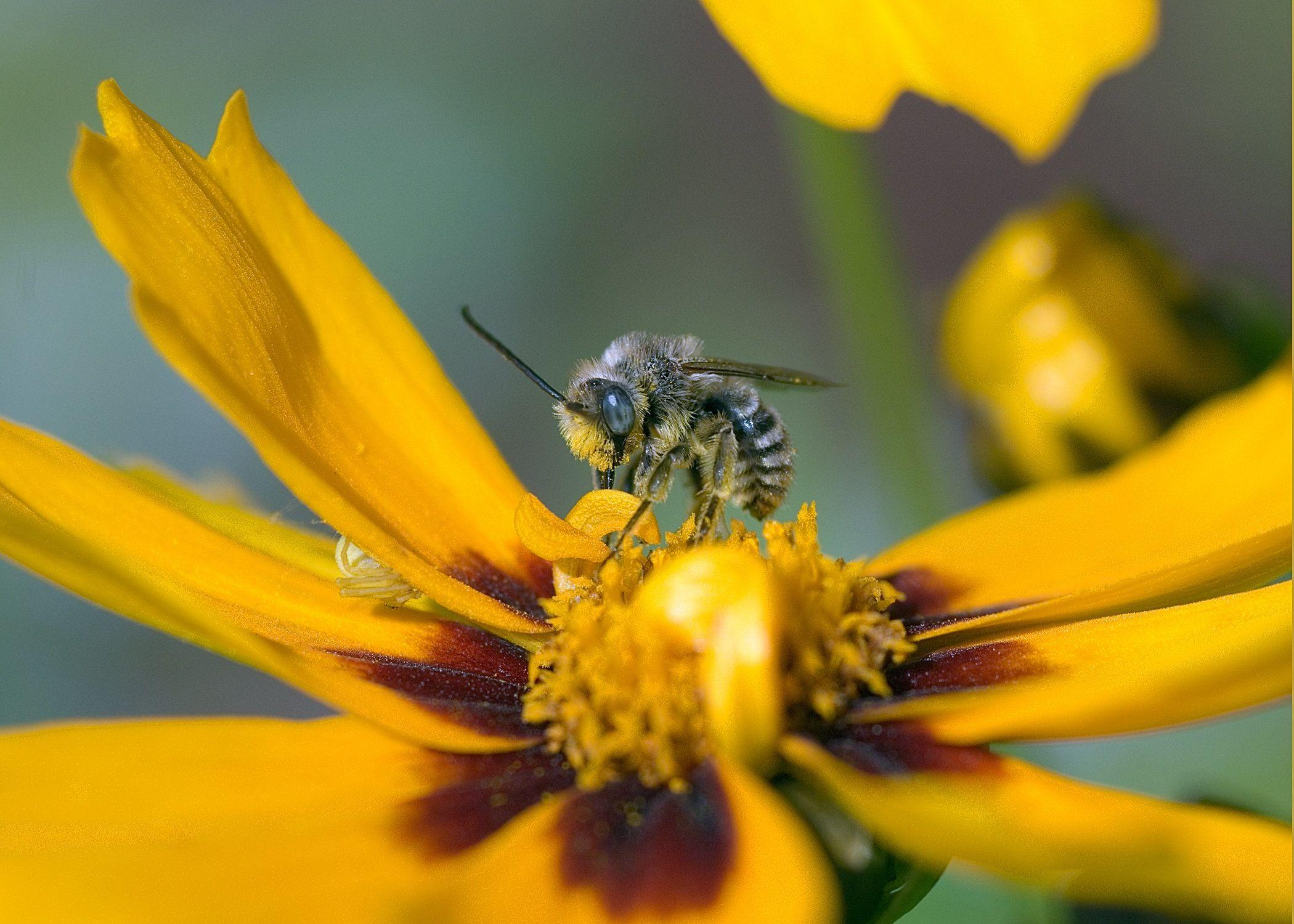 This small sweat bee busily forages away in the orange flowers.