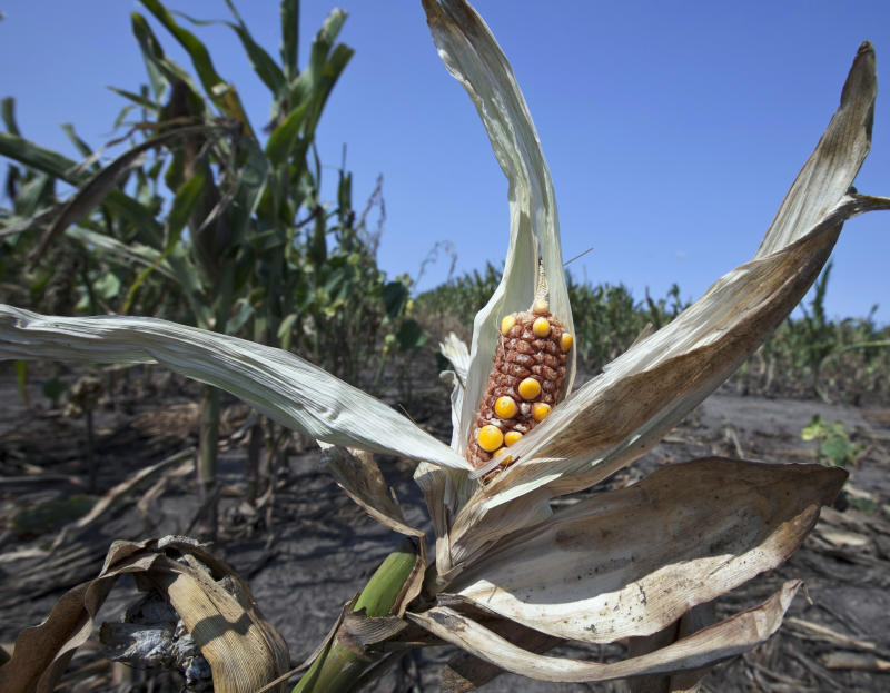 Crop insurance losses begin to mount amid drought