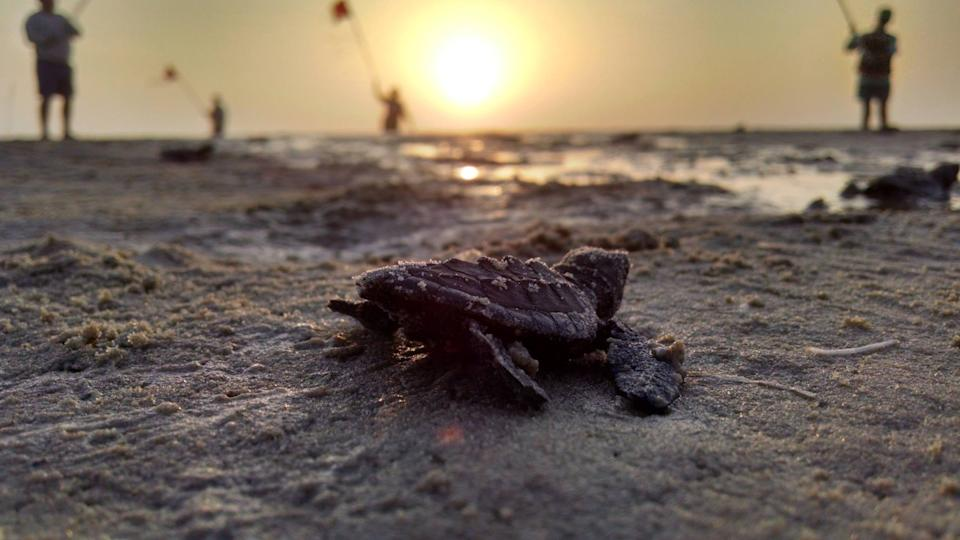 "A Kemp's ridley hatchling making its way home to the ocean. <span class=""copyright"">(National Park Service)</span>"