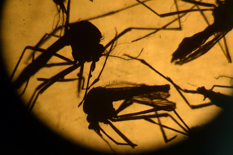 Malaria is transmitted by anopheles mosquitoes, which are most active at night (AFP Photo/Marvin Recinos)