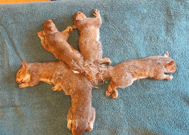 Squirrels found entangled by their tails in Wisconsin: Wildlife Rehabilitation Center at Wisconsin Humane Society