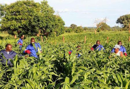 Agricultural officials spray maize plants affected by armyworms in Keembe district