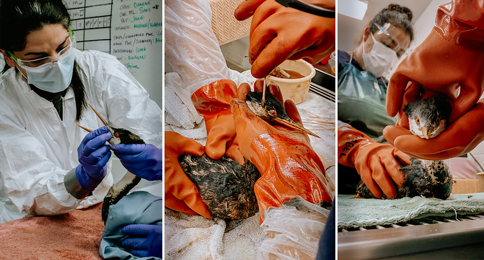 Three images of a darter being checked by a specialist, with oil samples being taken.