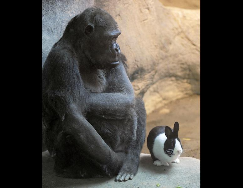 The Erie Zoo's lowland gorilla Samantha, left, shares her space with Panda, a Dutch rabbit, at the zoo in Erie, Pa. on Thursday, March 8, 2012. (AP Photo/Erie Times-News, Greg Wohlford)