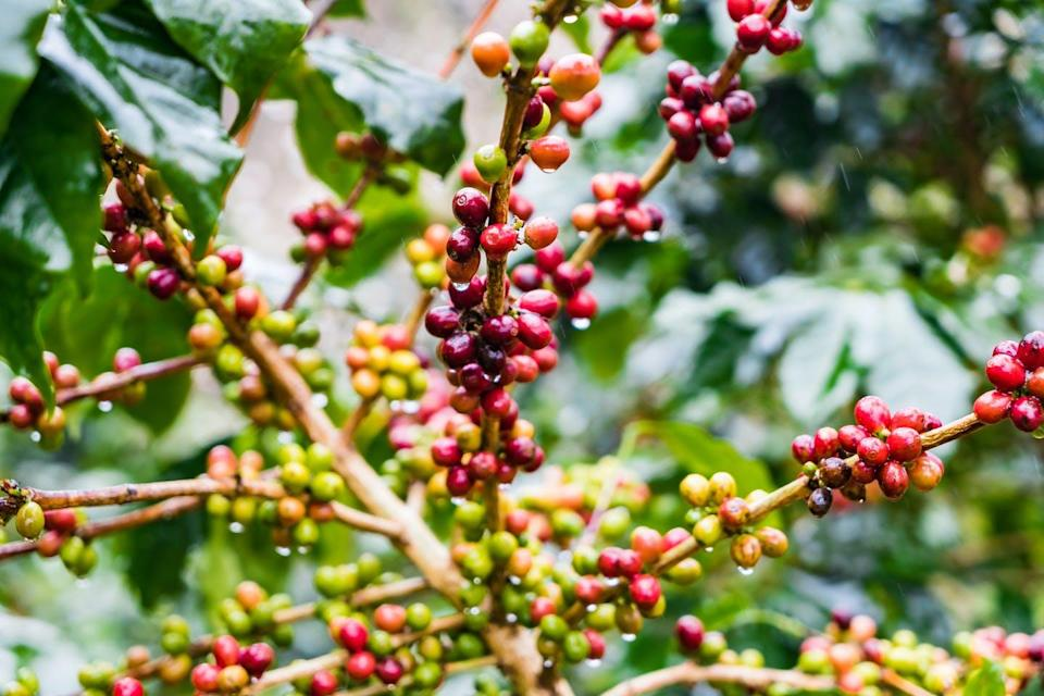 Arabica coffee beans growing on a tree