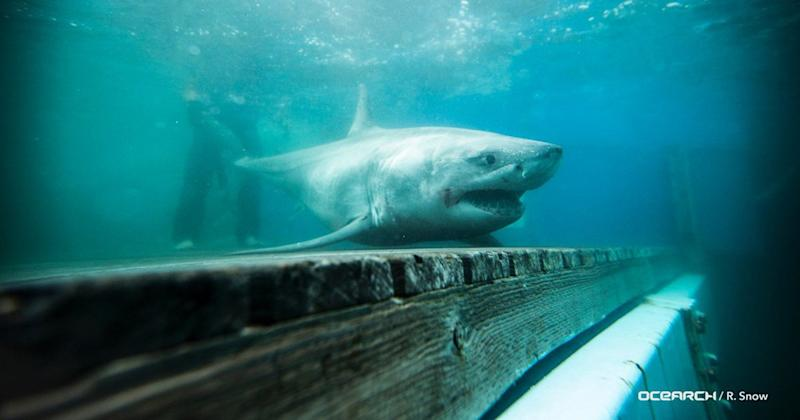 Great White Shark Tracked Off Long Island Sound for the First Time