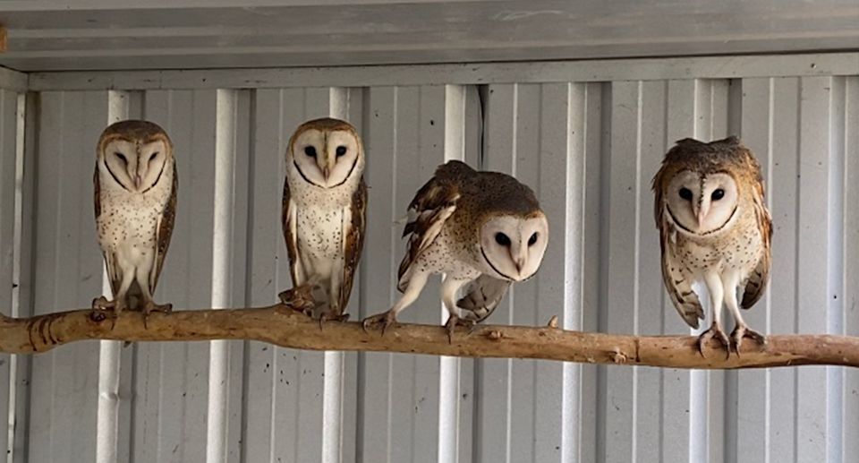 Most of the owls rescued around Canberra were rehabilitated and released. Source: ACT Wildlife