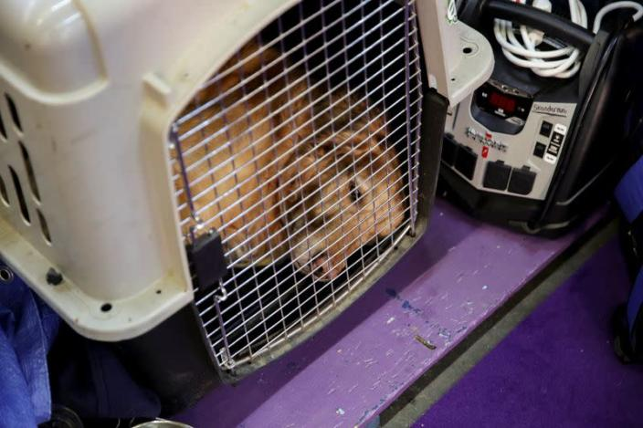 A dog lies in a cage ahead of the Masters Agility Championship during the Westminster Kennel Club Dog Show in New York