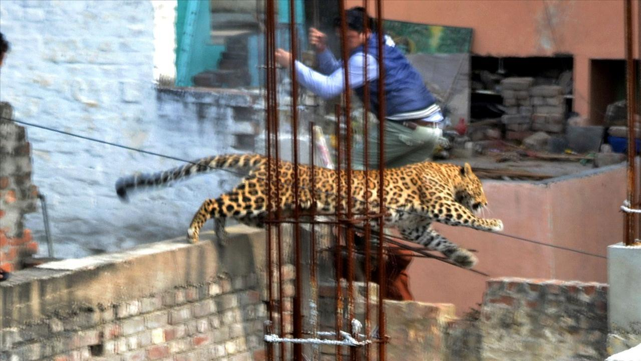 Schools and businesses were shuttered after a loose leopard broke into hospital in Meerut, Uttar Pradesh. The WSJ's Aditi Malhotra tells says the hunt continues for the runaway cat. Photo: Getty Images