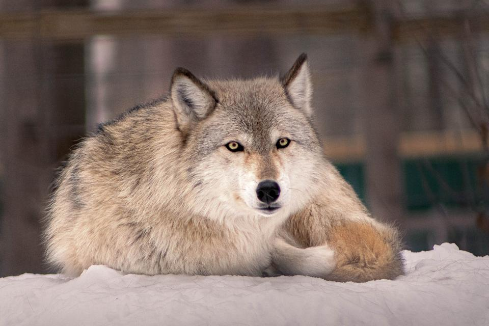 Idaho Gov. Brad Little signed a bill into law this week that will allow the state's wolf population to drop from 1,500 to 150. (Photo: Gabrielle Danthine / EyeEm via Getty Images)