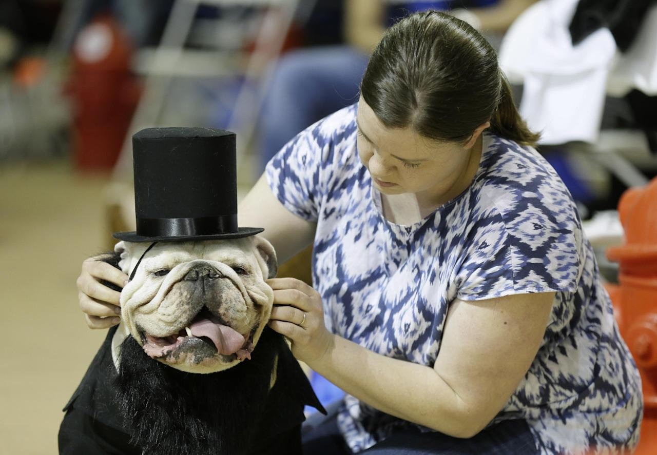 Colleen Kelley, of Iowa City, Iowa, fixes the hat on her dog Bruce during judging at the 35th annual Drake Relays Beautiful Bulldog Contest, Monday, April 21, 2014, in Des Moines, Iowa. The pageant kicks off the Drake Relays festivities at Drake University where a bulldog is the mascot. (AP Photo/Charlie Neibergall)