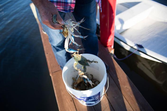 <p>William Eskridge pulls just caught crabs from a bucket in Tangier, Virginia, May 15, 2017, where climate change and rising sea levels threaten the inhabitants of the slowly sinking island.<br> (Jim Watson/AFP/Getty Images) </p>