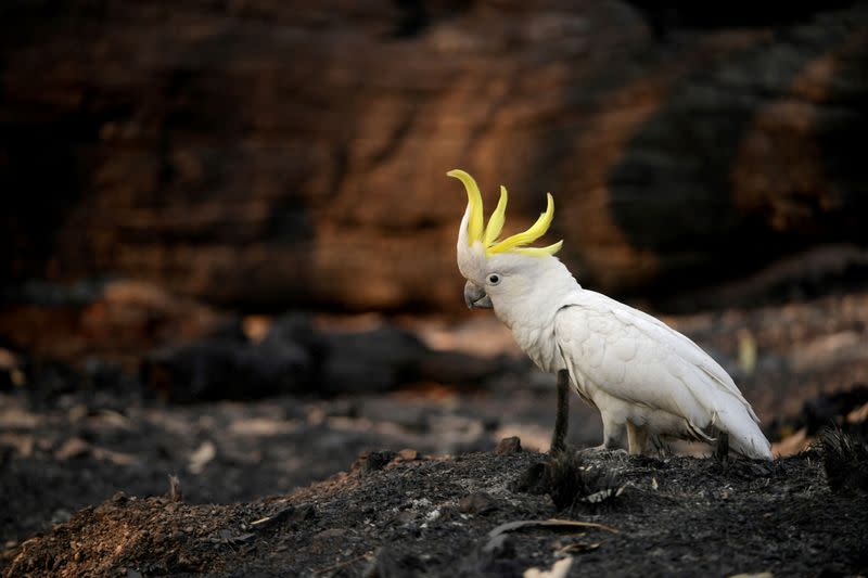FILE PHOTO: An injured sulphur-crested cockatoo walks through the burnt ground of Kosciuszko National Park in Providence Portal, New South Wales, Australia