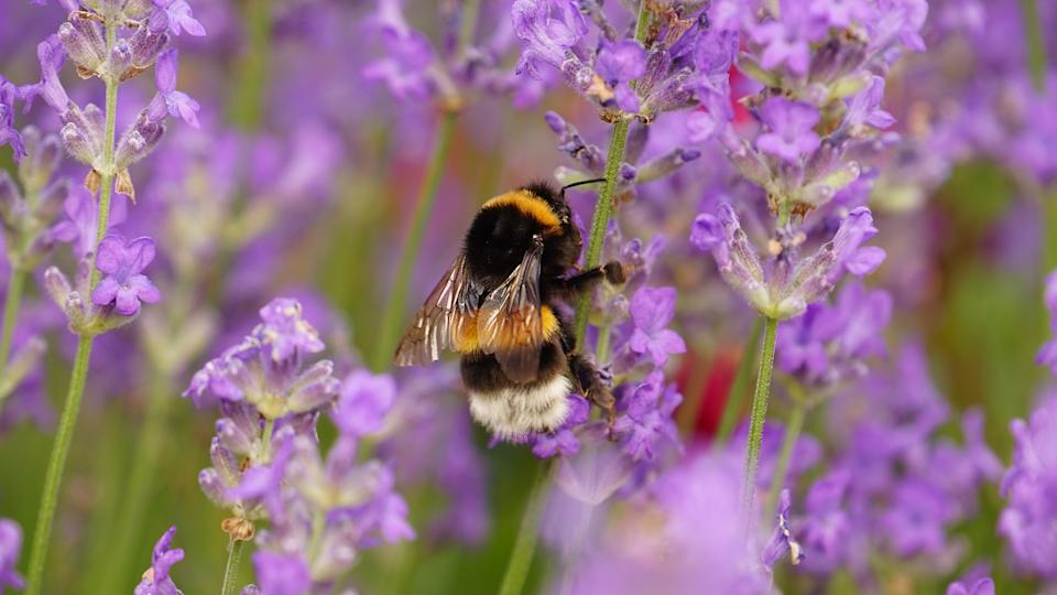 Lavender flowers to attract bees