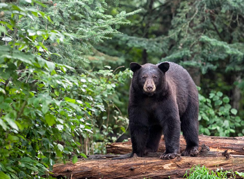 Pictured is an adult black bear seen in a wooded area in the US.