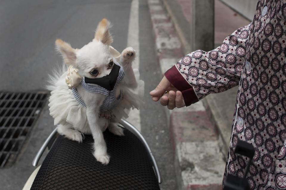 """A pet dog named """"Money,"""" wearing a pet face mask, plays with her owner in Bangkok, Thailand, Thursday, June 4, 2020. Daily life in capital resuming to normal as Thai government continues to ease restrictions related to running business in capital Bangkok that were imposed weeks ago to combat the spread of COVID-19. (AP Photo/ Gemunu Amarasinghe)"""