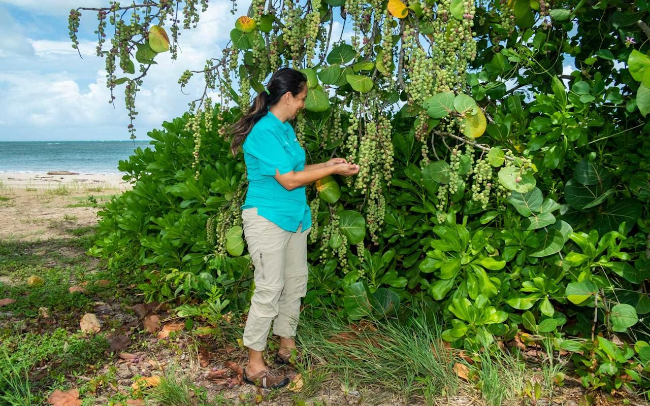 <p>Marcela stops to pick a few sea grapes from a coccoloba uvifera tree. The juicy and bitter fruit grows naturally around the resort and in the Caribbean; the casual poolside restaurant on the property near Casa Grande is named after the local fruit.</p>