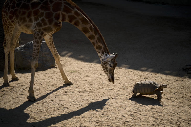 In this Wednesday, May 15, 2019 photo, a giraffe examines an African spurred tortoise at the zoo in Barcelona, Spain. Animal rights activists in Barcelona are celebrating a victory after the Spanish city ordered its municipal zoo to restrict the breeding of captive animals unless their young are destined to be reintroduced into the wild. (AP Photo/Renata Brito)