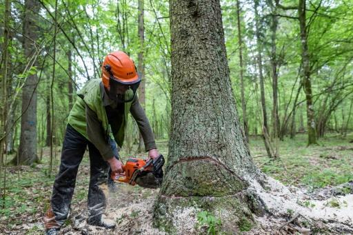 Beetles and the axe: double trouble for prized Polish forest