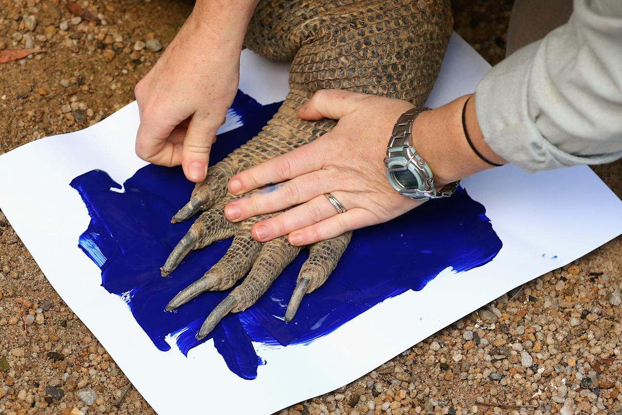'Tuka' the komodo dragon leaves a paint print on a canvas at Taronga Zoo on June 27, 2012 in Sydney, Australia. Taronga and Western Plains Zoo today pledged a a new elephant conservation project in Thailand and animals at Taronga made their pledge by dipping their feet and hands in paint and smudging them on canvas.  (Photo by Cameron Spencer/Getty Images)