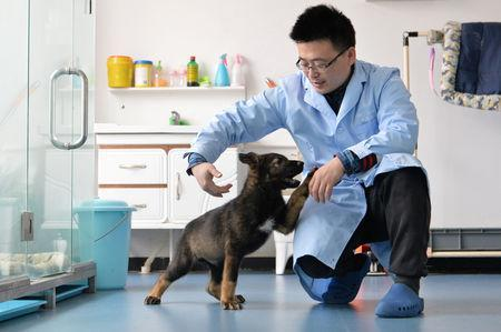 A researcher interacts with Kunxun, a dog cloned from a police dog, in Beijing, China February 22, 2019. Picture taken February 22, 2019. China Daily via REUTERS ATTENTION EDITORS - THIS IMAGE WAS PROVIDED BY A THIRD PARTY. CHINA OUT.