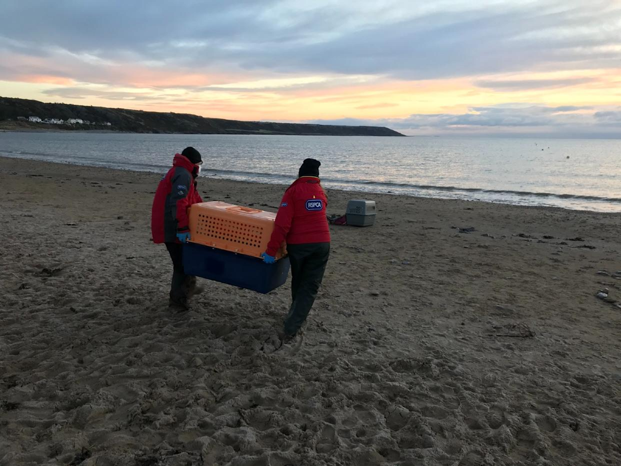 The seals were released on January 3 (RSPCA/PA)