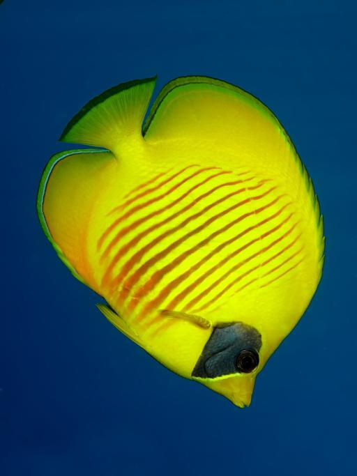 33. Union territory of Lakshadweep - Butterfly Fish