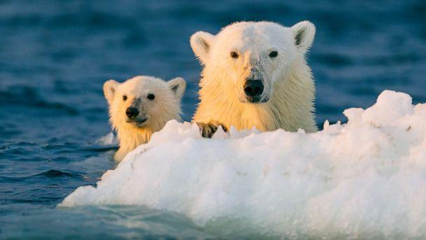 PHOTO: A polar bear and young cub cling to floating ice in this stock photo. (STOCK PHOTO/Getty Images)