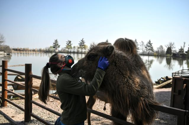 A zoo keeper is pictured wearing a mask while petting a camel in Cumiana, near Turin, on 18 March. Italy has had more than 31,500 confirmed cases. (Getty Images)