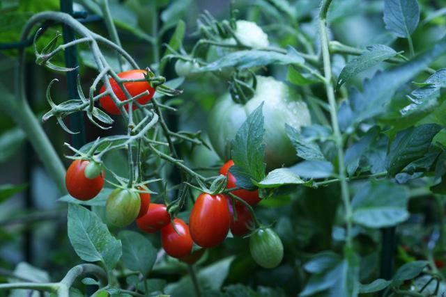 This photo taken on July 16, 2010 shows Heirloom tomatoes, rear, which can take more than 100 days to ripen, while the smaller cherry tomatoes, foreground, need only 65 days as shown in New Market, Va. Grow both varieties to stagger the dates of your harvest. (AP Photo/Dean Fosdick)