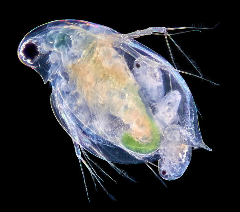 <p>A daphnia captured giving birth is a truly stunning moment. (Pic: Chris Algar/SWNS) </p>