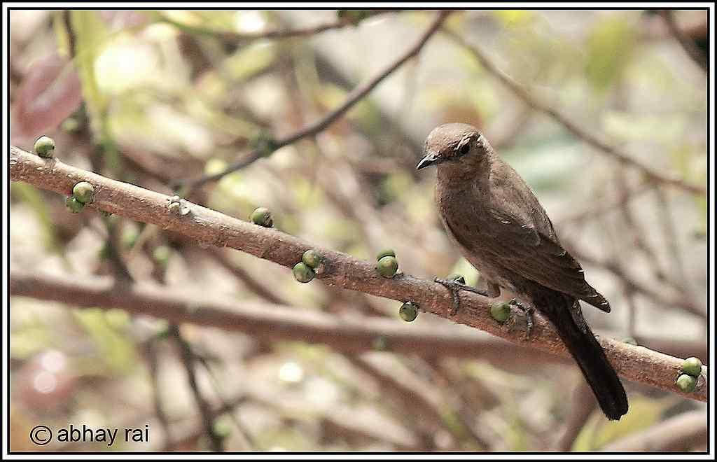 """The Brown Rock Chat or Indian Chat (Cercomela fusca) <br>By <a target=""""_blank"""" href=""""http://www.flickr.com/photos/abhayrai/"""">abhay_mibm</a>"""