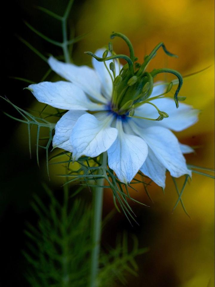 "<p>Also referred to as Love-in-a-Mist, these determined plants grow steadily in cool spring weather and start blooming in early summer.</p><p><a rel=""nofollow"" href=""https://www.thompson-morgan.com/p/nigella-blue-starry-skies/tm61820TM"">BUY NOW</a></p>"